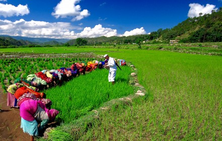 Women transplanting of rice accompanied by a Hudikia Ball musician. Photo by Dhirendra Bisht.